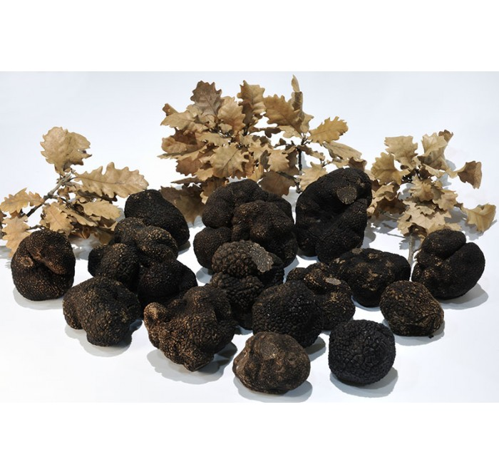 The Truffle and its life cycle or the life cycle of the truffle